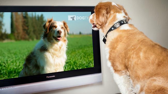 Bạn có bao giờ tự hỏi chó sẽ nhìn thấy gì khi xem tivi không?